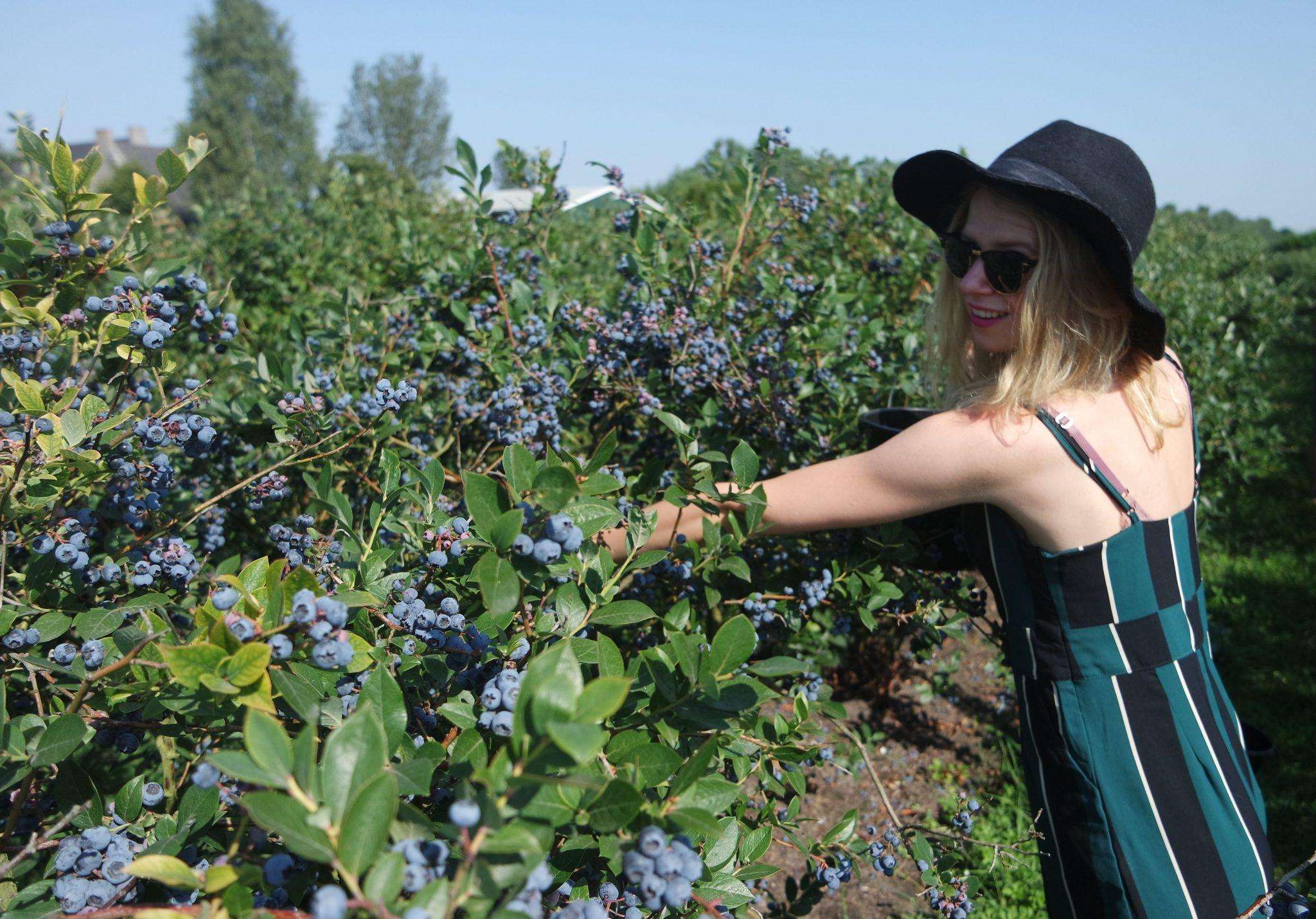 blauwe bessen zelf pluk boerderij